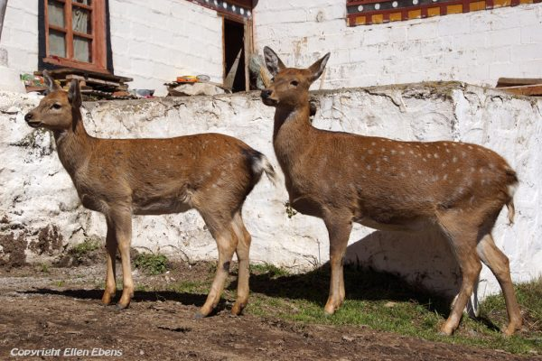 Deer at Dagzha Monastery at Zoige