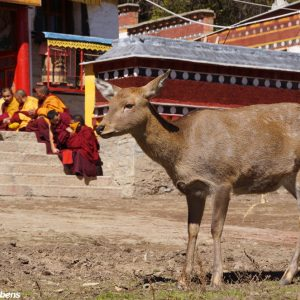 A deer at Dagzha Monastery at Zoige