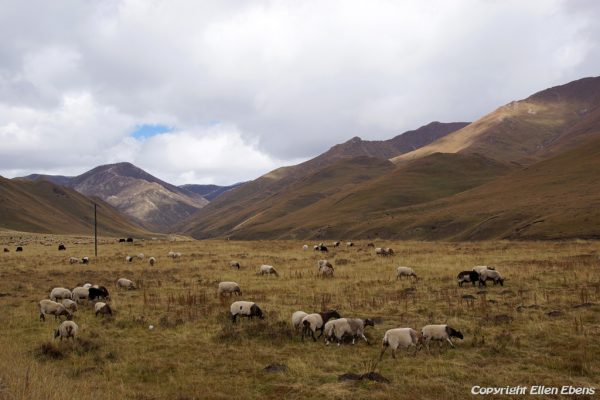 Driving from Zoige to Xiahe: grasslands with sheep