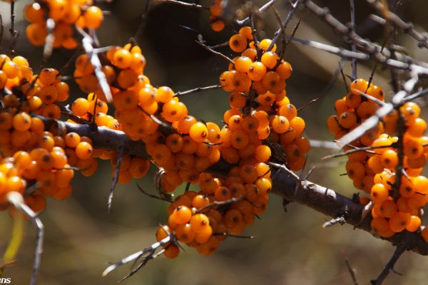 In the mountains surrounding Songpan: autumn berries
