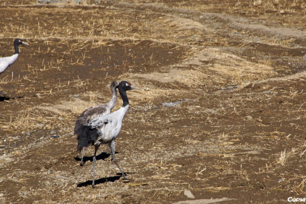 Black-necked cranes spending the winter in the Yarlung Tsangpo river valley in Tibet