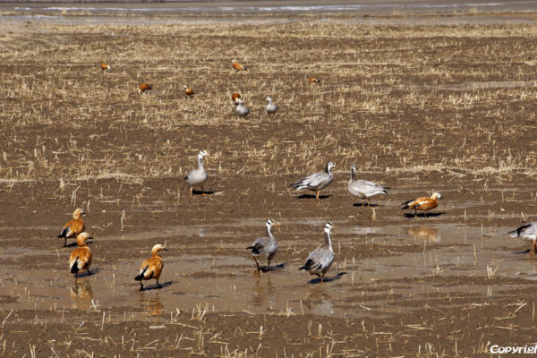 Several species of ducks spending the winter in the Yarlung Tsangpo river valley in Tibet