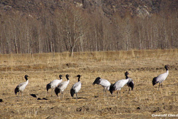 Black-necked cranes in the fields on the way from Lhasa to Drigung Til Monastery