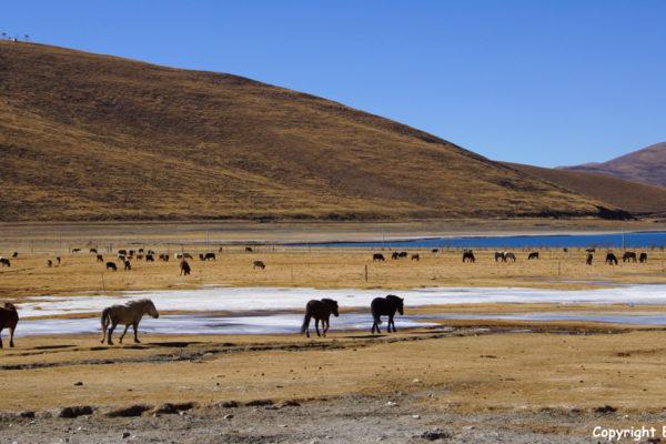 Horses at Yamdrok Tso Lake