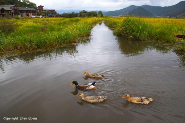 The wetlands at Lugu Lake