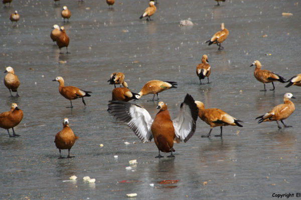 Lhasa, ducks on the ice of the lake behind the Potala Palace.